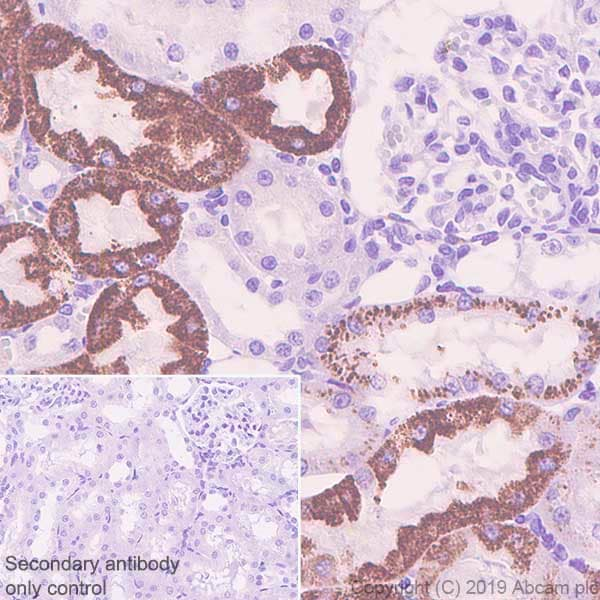 Immunohistochemistry (Formalin/PFA-fixed paraffin-embedded sections) - Anti-Arg2 antibody [EPR22626-51] (ab228963)