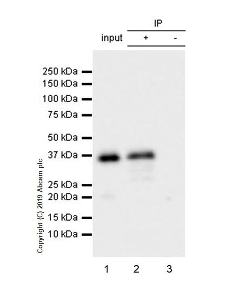 Immunoprecipitation - Anti-Arg2 antibody [EPR22626-51] (ab228963)