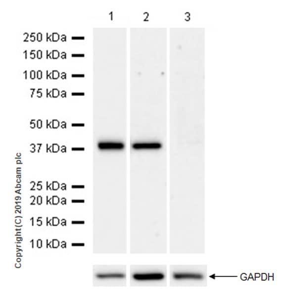 Western blot - Anti-Arg2 antibody [EPR22626-51] (ab228963)