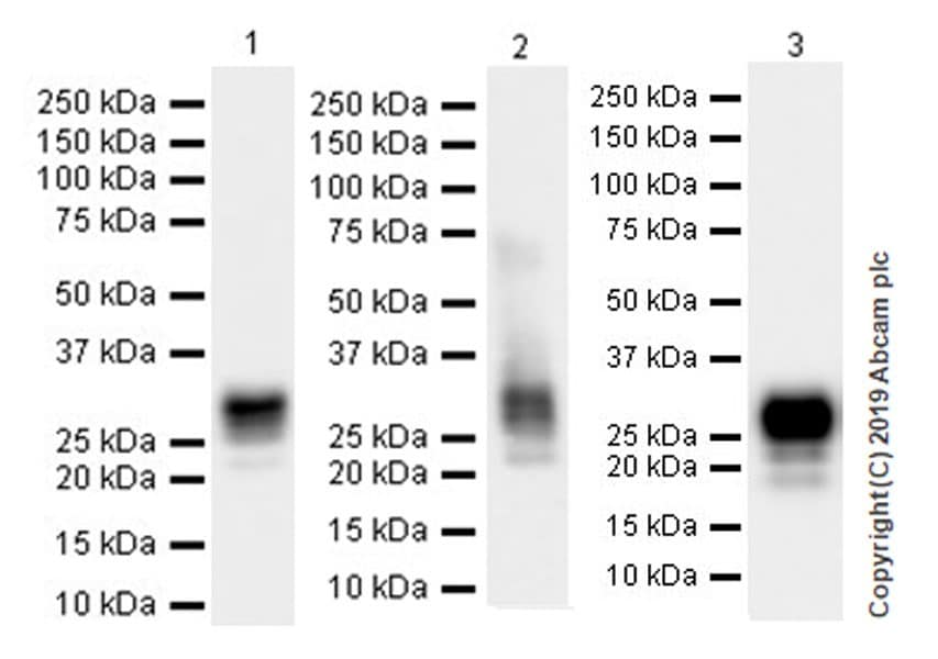 Western blot - Anti-CD8B antibody [EPR22331-54] (ab228965)