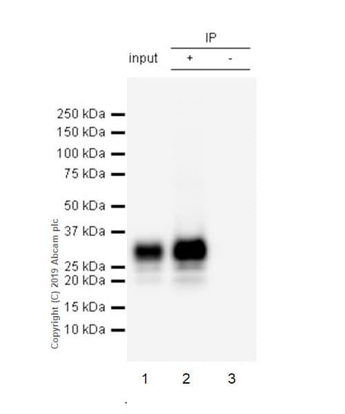 Immunoprecipitation - Anti-CD8B antibody [EPR22331-54] (ab228965)