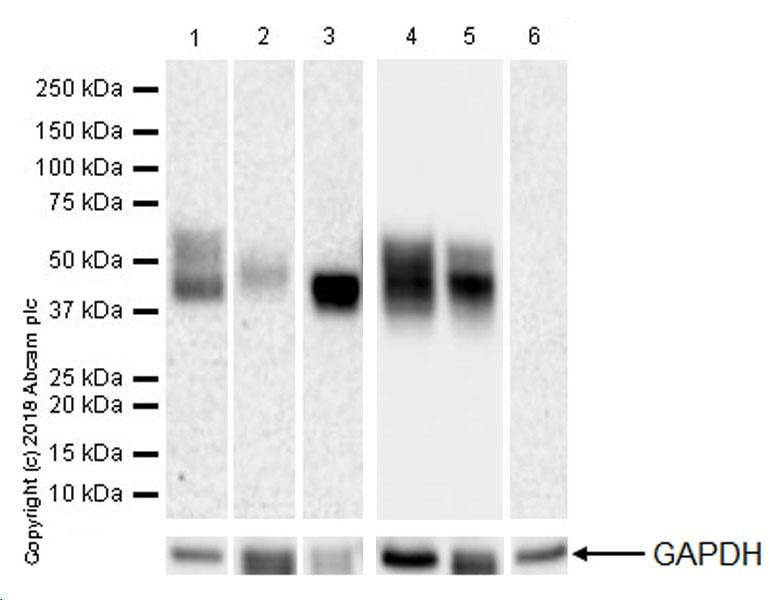 Western blot - Anti-CD16 + CD32 antibody [EPR22345] (ab228971)