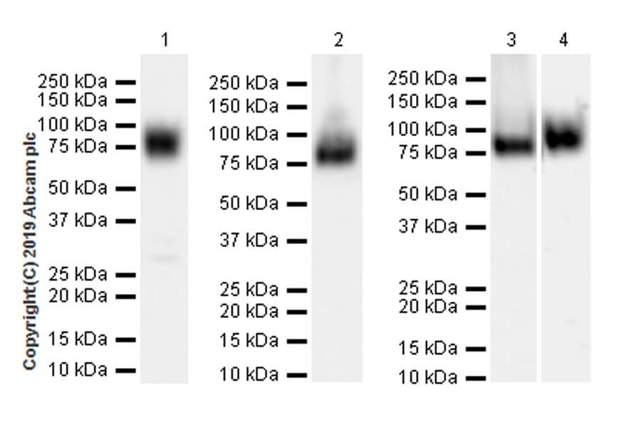 Western blot - Anti-SIGIRR antibody [EPR22438-93] (ab228977)