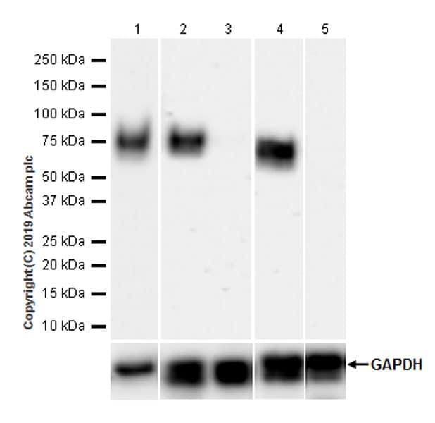 Western blot - Anti-SLAM / CD150 antibody [EPR22904-135] (ab228978)