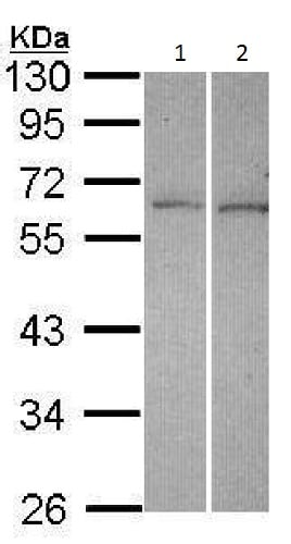Western blot - Anti-DUSP10 antibody (ab228987)