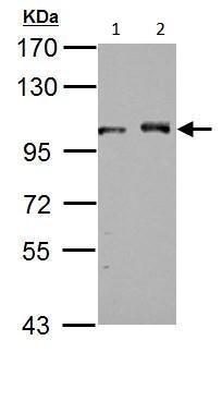 Western blot - Anti-DDX23 antibody (ab228999)