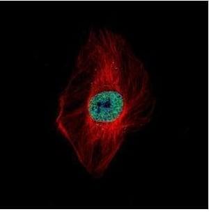 Immunocytochemistry/ Immunofluorescence - Anti-DDX23 antibody (ab228999)