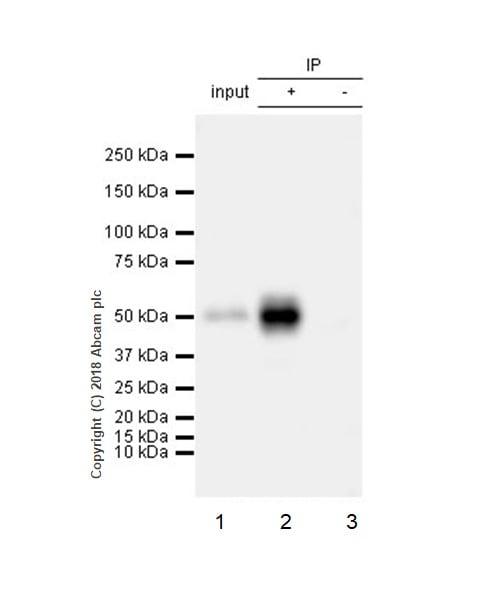 Immunoprecipitation - Anti-Angiotensinogen antibody [EPR22199-203] (ab229005)