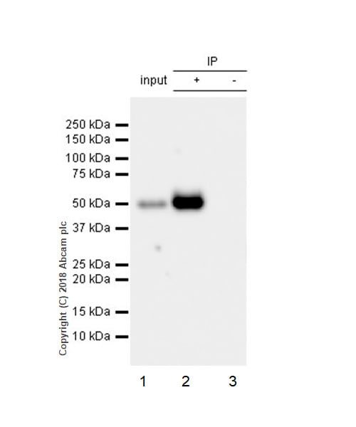Immunoprecipitation - Anti-CD134 antibody [EPR22229-5] (ab229021)