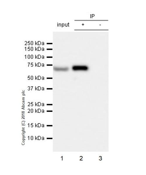 Immunoprecipitation - Anti-Lamin B1 antibody [EPR22165-121] (ab229025)