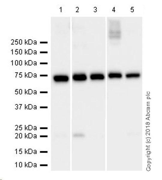 Western blot - Anti-Lamin B1 antibody [EPR22165-121] (ab229025)