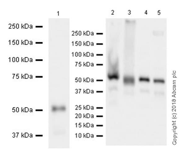 Western blot - Anti-XIAP antibody [EPR22189-113] (ab229050)