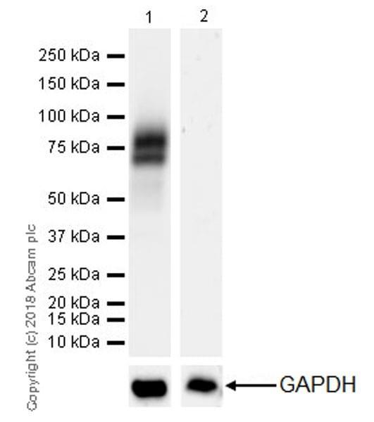 Western blot - Anti-IL1 Receptor I/IL-1R-1 antibody [EPR22198-36] (ab229051)