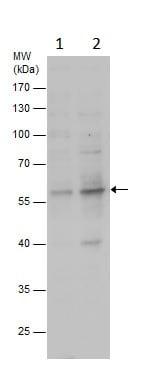 Western blot - Anti-ZNF486 antibody - N-terminal (ab229079)