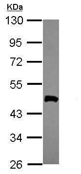Western blot - Anti-OLA1 antibody (ab229090)