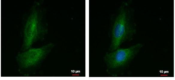 Immunocytochemistry/ Immunofluorescence - Anti-PRR16 antibody (ab229094)