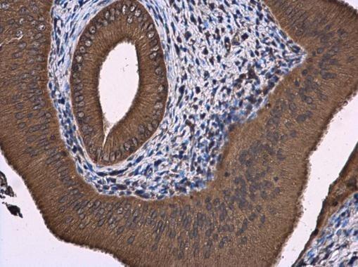 Immunohistochemistry (Formalin/PFA-fixed paraffin-embedded sections) - Anti-ATL3 antibody (ab229095)