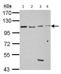 Western blot - Anti-GRASP1 antibody (ab229099)