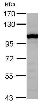 Western blot - Anti-GTF3C4 antibody (ab229113)