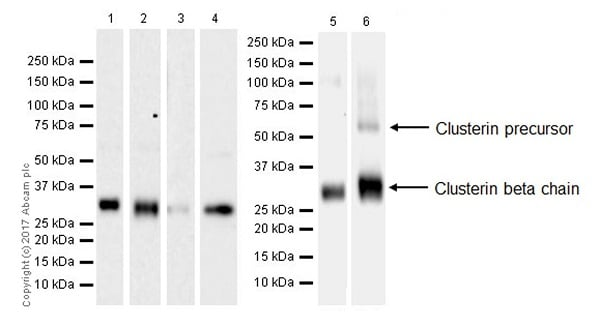 Western blot - Anti-Clusterin beta chain antibody [EPR17538-101] - BSA and Azide free (ab229127)