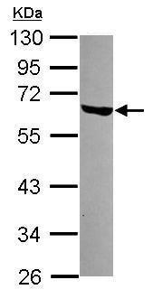Western blot - Anti-RAP55 antibody (ab229134)