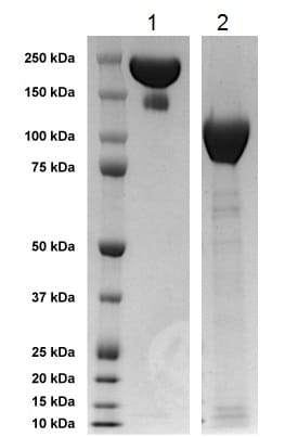 SDS-PAGE - Recombinant Human TrkA protein (Fc Chimera) (ab229179)