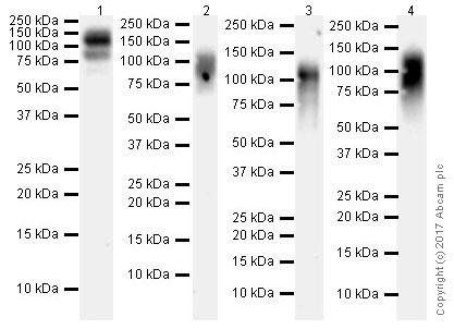 Western blot - Anti-LILRB1 antibody [EPR21007] (ab229186)
