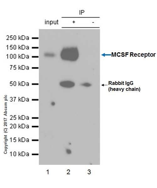 Immunoprecipitation - Anti-MCSF Receptor antibody [EPR20754] (ab229188)