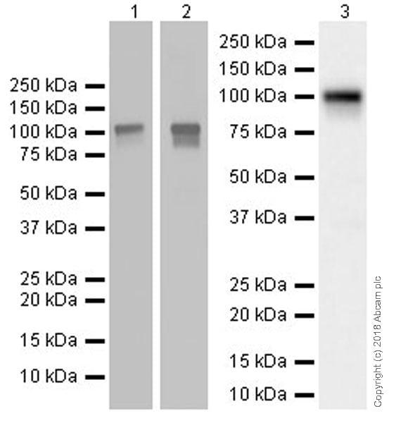 Western blot - Anti-BANK1 antibody [EPR20795] (ab229189)