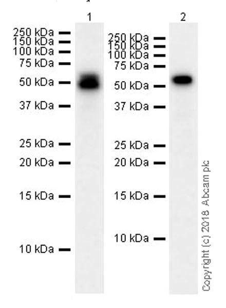 Western blot - Anti-Cdk8 antibody [EPR21005] (ab229192)