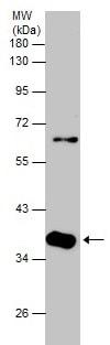 Western blot - Anti-Sox32 antibody (ab229204)