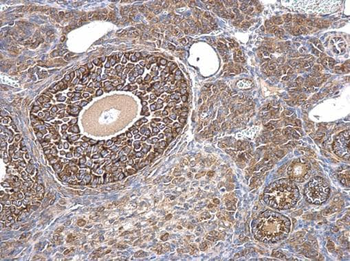Immunohistochemistry (Formalin/PFA-fixed paraffin-embedded sections) - Anti-AMH antibody - C-terminal (ab229212)