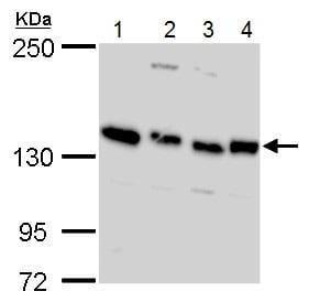 Western blot - Anti-Timeless antibody (ab229218)