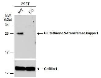 Western blot - Anti-GSTK1 antibody (ab229219)