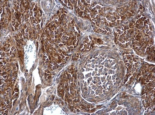 Immunohistochemistry (Formalin/PFA-fixed paraffin-embedded sections) - Anti-nSMase-3 antibody (ab229228)