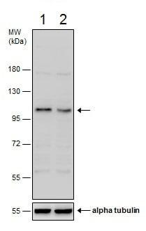 Western blot - Anti-BICD2 antibody - C-terminal (ab229230)