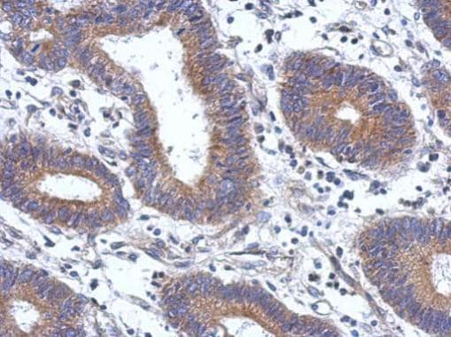 Immunohistochemistry (Formalin/PFA-fixed paraffin-embedded sections) - Anti-ENTPD7 antibody - N-terminal (ab229244)
