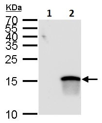 Western blot - Anti-MATH5/ATOH7 antibody (ab229245)