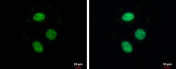 Immunocytochemistry/ Immunofluorescence - Anti-ZNF599 antibody (ab229248)