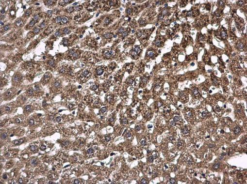 Immunohistochemistry (Formalin/PFA-fixed paraffin-embedded sections) - Anti-PCB antibody - C-terminal (ab229266)