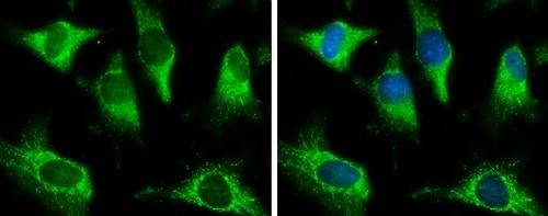 Immunocytochemistry/ Immunofluorescence - Anti-PCB antibody - C-terminal (ab229266)