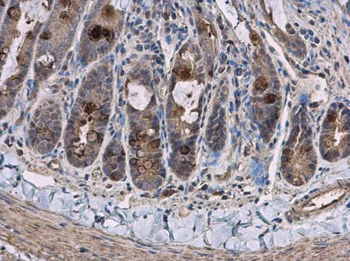 Immunohistochemistry (Formalin/PFA-fixed paraffin-embedded sections) - Anti-PCB antibody - C-terminal (ab229267)