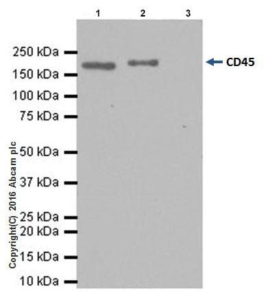 Immunoprecipitation - Anti-CD45 antibody [EPR20033] - BSA and Azide free (ab229292)