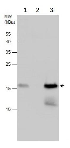 Immunoprecipitation - Anti-LSM1 antibody (ab229316)