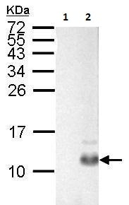 Western blot - Anti-Pancreatic Polypeptide antibody (ab229322)