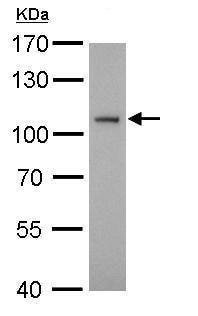 Western blot - Anti-ATG9A antibody - C-terminal (ab229334)