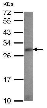 Western blot - Anti-RASSF4 antibody (ab229336)