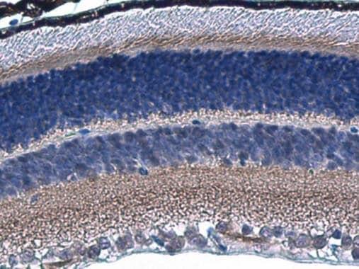 Immunohistochemistry (Formalin/PFA-fixed paraffin-embedded sections) - Anti-HCN1 antibody - C-terminal (ab229340)