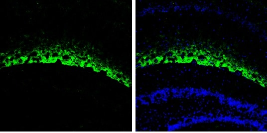 Immunohistochemistry (Frozen sections) - Anti-HCN1 antibody - C-terminal (ab229340)
