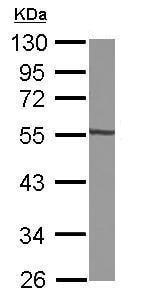 Western blot - Anti-GTDC1 antibody (ab229349)